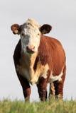 Bruine witte koe royalty-vrije stock foto's