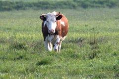 Bruine witte koe Stock Foto