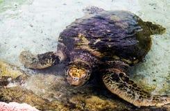 Bruine zeeschildpad in duidelijk ondiep water stock foto's