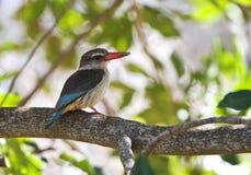 Bruinkapijsvogel, Okapturzający zimorodek, Halcyon albiventris obrazy royalty free