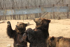 Bruins(Ursus arctos). Grizzlies. Large round head, body strong build, shoulder uplift. Mainly found in cold temperate coniferous forest, and more active Stock Images