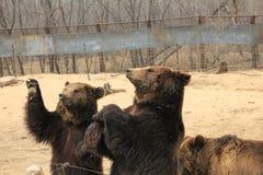Bruins(Ursus arctos) Stock Images