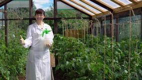 Bruk av experimentella prövkopior av tomater i växthuset stock video