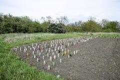 Bruk av plast-flaskor att skydda plantor av grönsaker från plågor och förkylning Skydd från den Gryllotalpa gryllotalpaen Planti Royaltyfria Bilder