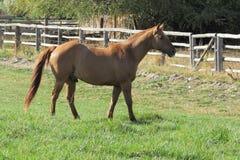 bruka hästen Fotografering för Bildbyråer