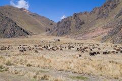 Bruka och flocken av lamor och Alpacas i Anderna berg, Peru Arkivfoto