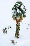 Brukselska flanca w śniegu Obrazy Royalty Free