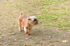Brukselski gryfonu psa zakończenie Obrazy Stock