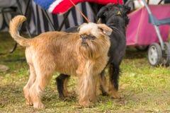 Brukselski gryfonu psa zakończenie Zdjęcia Royalty Free