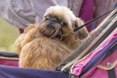 Brukselski gryfonu psa zakończenie Zdjęcia Stock