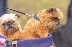 Brukselski gryfonu psa zakończenie Fotografia Stock