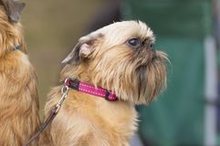 Brukselski gryfonu psa zakończenie Zdjęcie Royalty Free
