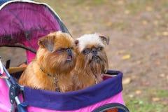 Brukselski gryfonu psa zakończenie Obraz Royalty Free