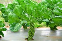 Brukselskiej flancy warzywo w gospodarstwie rolnym Fotografia Stock