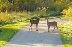 brukująca jelenia ścieżka obrazy royalty free
