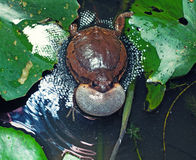 brulkikvors Stock Fotografie