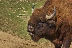 Brullend bizon mannelijk hoofd Stock Afbeeldingen