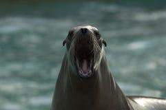 Brullende Californië zeeleeuw Stock Afbeeldingen