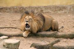 Brullende leeuw Royalty-vrije Stock Fotografie