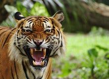 Brullende tijger Stock Afbeelding