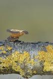 Brumalis del Polyporus Foto de archivo
