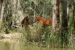 Brumbies在Barmah的森林里 免版税图库摄影