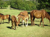 Brumbies at MountainThyme Sanctuary, N.S.W. Stock Image