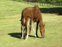 Brumby con il suo Foal al santuario del timo della montagna. Fotografia Stock