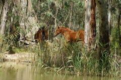 Brumby na floresta Imagem de Stock