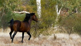 Brumby/Wild paard Stock Foto's