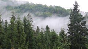 Brume dans la forêt conifére banque de vidéos