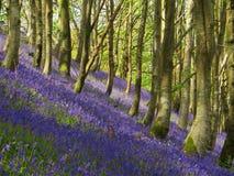 Brume de jacinthe des bois Image stock