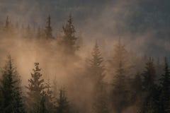 Brume de matin dans la forêt conifére photographie stock libre de droits