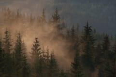 Brume de matin dans la forêt conifére image stock