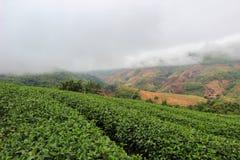 Brume de matin et jardins de la plantation de thé 101 photographie stock libre de droits