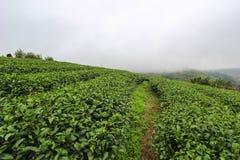Brume de matin et jardins de la plantation de thé 101 Photo stock