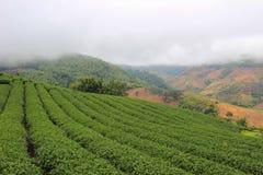 Brume de matin et jardins de la plantation de thé 101 Photographie stock