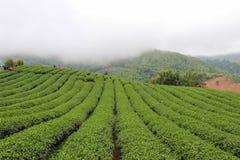 Brume de matin et jardins de la plantation de thé 101 photos libres de droits