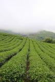 Brume de matin et jardins de la plantation de thé 101 images stock