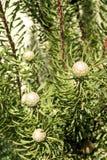 Brume de pourpre de Protea Image stock