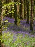 Brume des jacinthes des bois Photo libre de droits