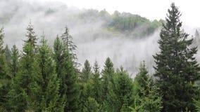Brume parmi les arbres coniféres banque de vidéos