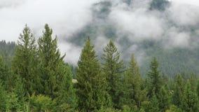 Brume parmi les arbres coniféres clips vidéos