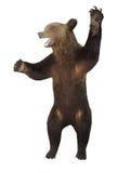 Brumma den ilskna brunbjörnen som isoleras över vit Royaltyfri Foto
