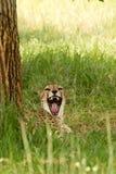 brumma för cheetah Royaltyfria Foton