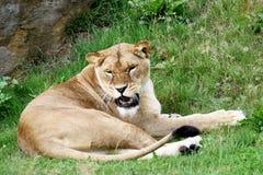 Brumma för Lioness Arkivfoto