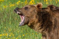 Brumma grisslybjörnen Fotografering för Bildbyråer