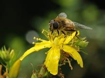 Brummen-Fliege Lizenzfreie Stockfotografie