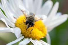 Brummen-Fliege, Eristalis Tenax Stockfotos