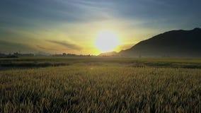 Brummen fliegt niedrig über Reis-Felder zum dunklen Hügel bei Sonnenaufgang stock video